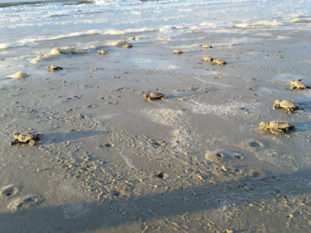 Sea turtles coming on shore in Hilton Head SC