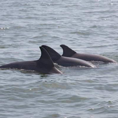 Dolphins coming out of the water near kayakers in Hilton Head